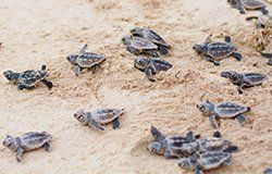 Playa del Secreto is a turtle sanctuary.